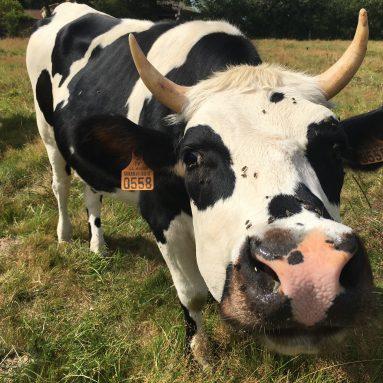 vache fête du lait bio